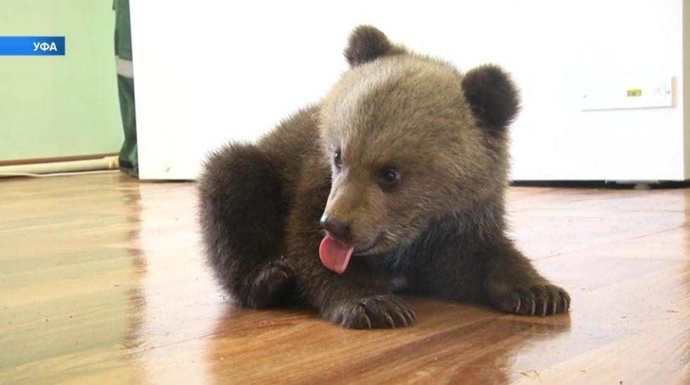 Фото №1 - В Уфе показали, как ухаживают за медвежатами