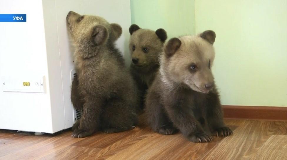 Фото №2 - В Уфе показали, как ухаживают за медвежатами