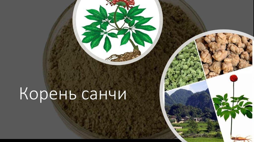 Санчи- растение с уникальными свойствами